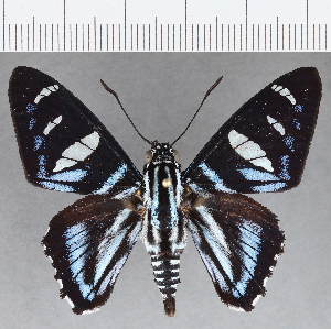 (Hesperiidae_gen sp. CF712 - CFCD01100)  @11 [ ] copyright (2019) Christer Fahraeus Fahraeus Institute