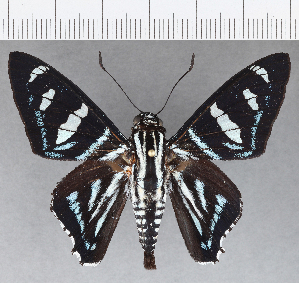 (Hesperiidae_gen sp. CF714 - CFCD01103)  @11 [ ] copyright (2019) Christer Fahraeus Fahraeus Institute