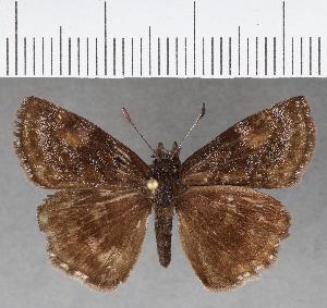 (Hesperiidae_gen sp. CF719 - CFCD01105)  @11 [ ] copyright (2019) Christer Fahraeus Fahraeus Institute