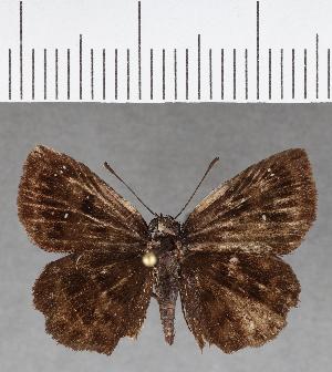 (Hesperiidae_gen sp. CF720 - CFCD01106)  @11 [ ] copyright (2019) Christer Fahraeus Fahraeus Institute