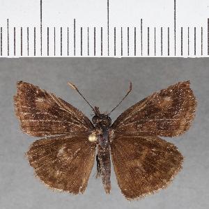 (Hesperiidae_gen sp. CF721 - CFCD01107)  @11 [ ] copyright (2019) Christer Fahraeus Fahraeus Institute