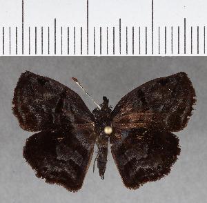 (Hesperiidae_gen sp. CF723 - CFCD01109)  @11 [ ] copyright (2019) Christer Fahraeus Fahraeus Institute