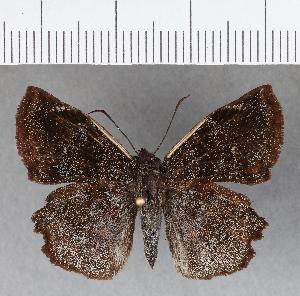 (Hesperiidae_gen sp. CF725 - CFCD01111)  @11 [ ] copyright (2019) Christer Fahraeus Fahraeus Institute