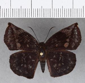 (Hesperiidae_gen sp. CF726 - CFCD01112)  @11 [ ] copyright (2019) Christer Fahraeus Fahraeus Institute