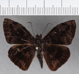 (Hesperiidae_gen sp. CF727 - CFCD01113)  @11 [ ] copyright (2019) Christer Fahraeus Fahraeus Institute