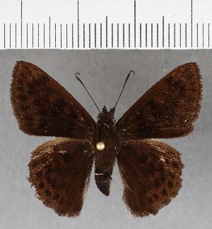 (Hesperiidae_gen sp. CF728 - CFCD01114)  @11 [ ] copyright (2019) Christer Fahraeus Fahraeus Institute