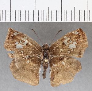 (Hesperiidae_gen sp. CF729 - CFCD01115)  @11 [ ] copyright (2019) Christer Fahraeus Fahraeus Institute