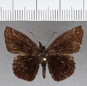 (Hesperiidae_gen sp. CF730 - CFCD01116)  @11 [ ] copyright (2019) Christer Fahraeus Fahraeus Institute