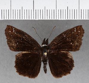 (Hesperiidae_gen sp. CF731 - CFCD01118)  @11 [ ] copyright (2019) Christer Fahraeus Fahraeus Institute