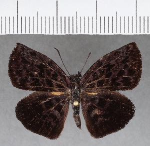 (Hesperiidae_gen sp. CF732 - CFCD01119)  @11 [ ] copyright (2019) Christer Fahraeus Fahraeus Institute