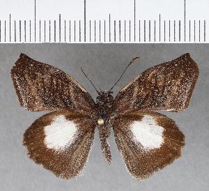 (Hesperiidae_gen sp. CF733 - CFCD01120)  @11 [ ] copyright (2019) Christer Fahraeus Fahraeus Institute