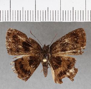 (Hesperiidae_gen sp. CF734 - CFCD01121)  @11 [ ] copyright (2019) Christer Fahraeus Fahraeus Institute