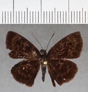 (Hesperiidae_gen sp. CF735 - CFCD01122)  @11 [ ] copyright (2019) Christer Fahraeus Fahraeus Institute
