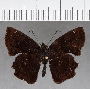 (Hesperiidae_gen sp. CF736 - CFCD01123)  @11 [ ] copyright (2019) Christer Fahraeus Fahraeus Institute