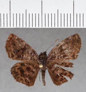 (Hesperiidae_gen sp. CF737 - CFCD01124)  @11 [ ] copyright (2019) Christer Fahraeus Fahraeus Institute