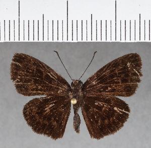 (Hesperiidae_gen sp. CF738 - CFCD01125)  @11 [ ] copyright (2019) Christer Fahraeus Fahraeus Institute