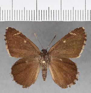 (Hesperiidae_gen sp. CF739 - CFCD01126)  @11 [ ] copyright (2019) Christer Fahraeus Fahraeus Institute