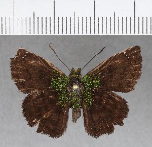 (Hesperiidae_gen sp. CF740 - CFCD01128)  @11 [ ] copyright (2019) Christer Fahraeus Fahraeus Institute