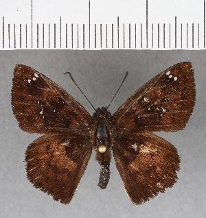 (Hesperiidae_gen sp. CF741 - CFCD01129)  @11 [ ] copyright (2019) Christer Fahraeus Fahraeus Institute