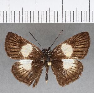 (Hesperiidae_gen sp. CF743 - CFCD01130)  @11 [ ] copyright (2019) Christer Fahraeus Fahraeus Institute