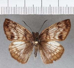 (Hesperiidae_gen sp. CF744 - CFCD01131)  @11 [ ] copyright (2019) Christer Fahraeus Fahraeus Institute