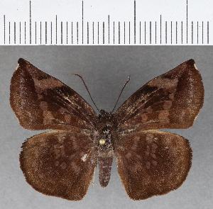 (Hesperiidae_gen sp. CF751 - CFCD01133)  @11 [ ] copyright (2019) Christer Fahraeus Fahraeus Institute