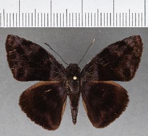 (Hesperiidae_gen sp. CF752 - CFCD01135)  @11 [ ] copyright (2019) Christer Fahraeus Fahraeus Institute