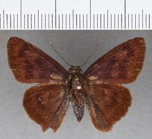 (Hesperiidae_gen sp. CF754 - CFCD01136)  @11 [ ] copyright (2019) Christer Fahraeus Fahraeus Institute