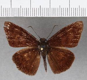 (Hesperiidae_gen sp. CF756 - CFCD01137)  @11 [ ] copyright (2019) Christer Fahraeus Fahraeus Institute