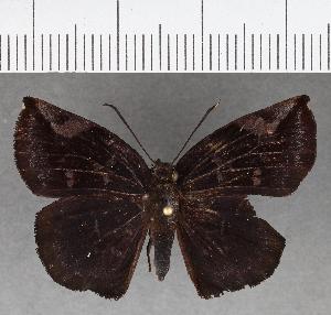 (Hesperiidae_gen sp. CF757 - CFCD01139)  @11 [ ] copyright (2019) Christer Fahraeus Fahraeus Institute