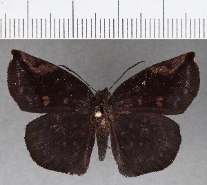 (Hesperiidae_gen sp. CF764 - CFCD01140)  @11 [ ] copyright (2019) Christer Fahraeus Fahraeus Institute
