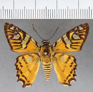 (Hesperiidae_gen sp. CF770 - CFCD01143)  @11 [ ] copyright (2019) Christer Fahraeus Fahraeus Institute