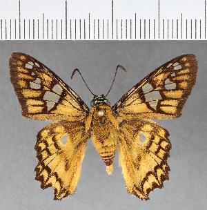 (Hesperiidae_gen sp. CF771 - CFCD01144)  @11 [ ] copyright (2019) Christer Fahraeus Fahraeus Institute