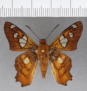 (Hesperiidae_gen sp. CF772 - CFCD01145)  @11 [ ] copyright (2019) Christer Fahraeus Fahraeus Institute