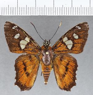(Hesperiidae_gen sp. CF773 - CFCD01146)  @11 [ ] copyright (2019) Christer Fahraeus Fahraeus Institute