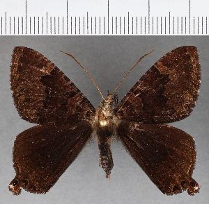 (Hesperiidae_gen sp. CF776 - CFCD01148)  @11 [ ] copyright (2019) Christer Fahraeus Fahraeus Institute