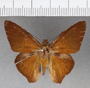 (Hesperiidae_gen sp. CF779 - CFCD01149)  @11 [ ] copyright (2019) Christer Fahraeus Fahraeus Institute