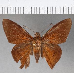 (Hesperiidae_gen sp. CF780 - CFCD01150)  @11 [ ] copyright (2019) Christer Fahraeus Fahraeus Institute