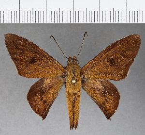 (Hesperiidae_gen sp. CF785 - CFCD01155)  @11 [ ] copyright (2019) Christer Fahraeus Fahraeus Institute
