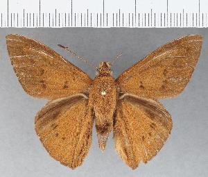 (Hesperiidae_gen sp. CF788 - CFCD01158)  @11 [ ] copyright (2019) Christer Fahraeus Fahraeus Institute