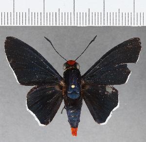 (Hesperiidae_gen sp. CF797 - CFCD01162)  @11 [ ] copyright (2019) Christer Fahraeus Fahraeus Institute