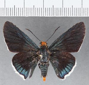 (Hesperiidae_gen sp. CF798 - CFCD01163)  @11 [ ] copyright (2019) Christer Fahraeus Fahraeus Institute