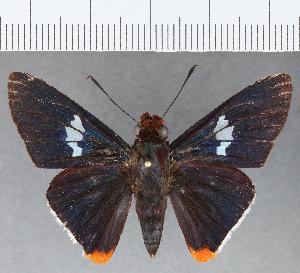 (Hesperiidae_gen sp. CF799 - CFCD01164)  @11 [ ] copyright (2019) Christer Fahraeus Fahraeus Institute