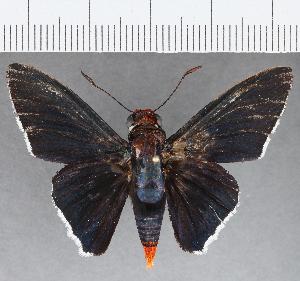 (Hesperiidae_gen sp. CF800 - CFCD01165)  @11 [ ] copyright (2019) Christer Fahraeus Fahraeus Institute