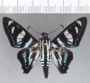 (Hesperiidae_gen sp. CF703 - CFCD01223)  @11 [ ] copyright (2019) Christer Fahraeus Fahraeus Institute
