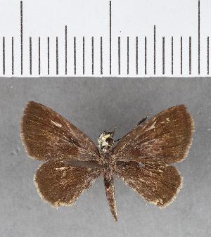 (Hesperiidae_gen sp. CF124 - CFCD00520)  @11 [ ] copyright (2018) Christer Fahraeus Fahraeus Institute