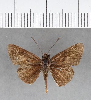 (Hesperiidae_gen sp. CF128 - CFCD00521)  @11 [ ] copyright (2018) Christer Fahraeus Fahraeus Institute