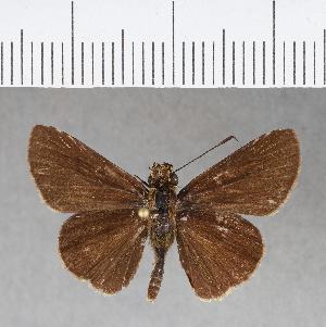 (Hesperiidae_gen sp. CF135 - CFCD00524)  @11 [ ] copyright (2018) Christer Fahraeus Fahraeus Institute