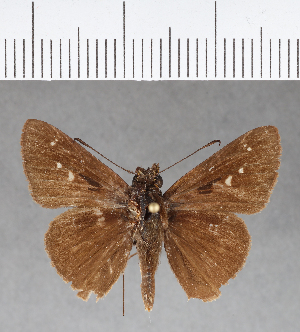 (Hesperiidae_gen sp. CF138 - CFCD00532)  @11 [ ] copyright (2018) Christer Fahraeus Fahraeus Institute