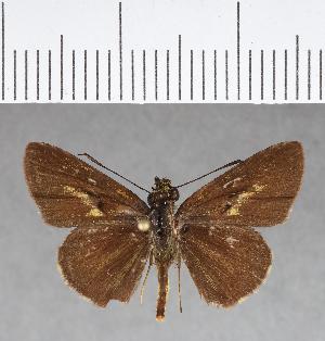 (Hesperiidae_gen sp. CF146 - CFCD00535)  @11 [ ] copyright (2018) Christer Fahraeus Fahraeus Institute